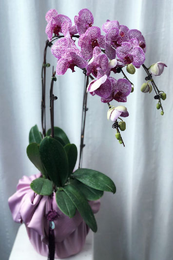 CNY - Potted orchids